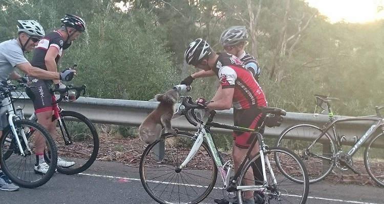 animales ciclismo koala australia