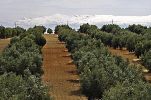 nueva pac olivar sierra nevada
