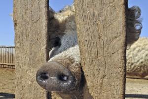 cerdo oveja mangalica